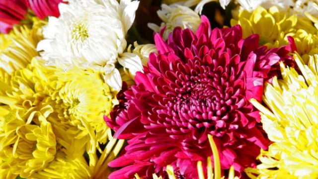 Ceres Chrysanthemum Show
