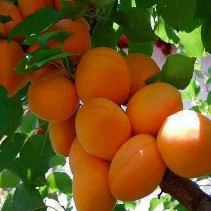 Apricot Picking Week